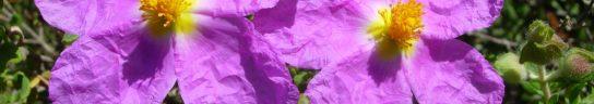 cropped-jara-de-cartagena-cistus-heterophyllus.jpg