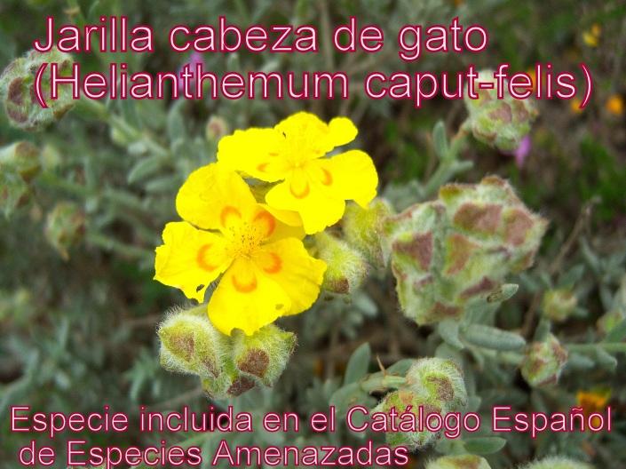 helianthemum caput-felis 2
