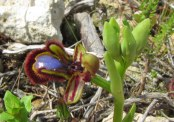 ophrys 5