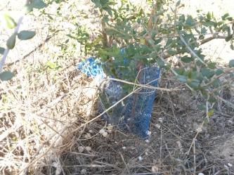 plantación antigua (acebuche)