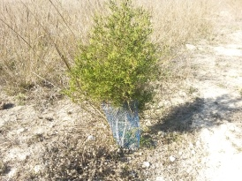 plantación antigua (araar)