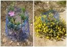 cistus y caputfelis florecidos