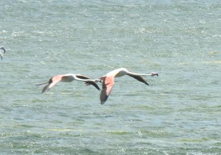 flamencos en vuelo