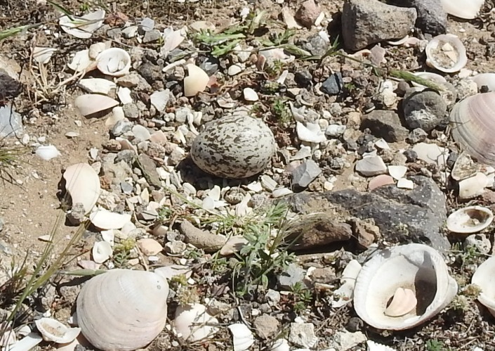 nido de alcaraván