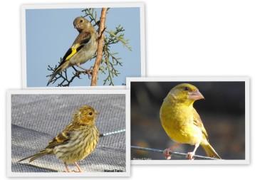 Crías de jilguero, verdecillo y verderón de este año fotografiadas en el vivero.