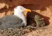 gaviota y pollo 2