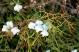 Araar 2 (Tetraclinis articulata)