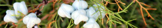 cropped-araar-2-tetraclinis-articulata.jpg