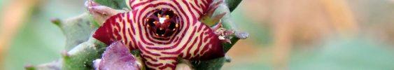 cropped-caralluma.jpg