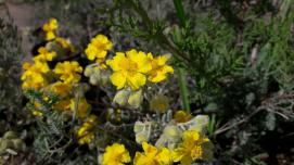 La jarilla cabeza de gato es uno de los tesoros botánicos de Melilla, y Guelaya trabaja por su protección y por el aumento de su población