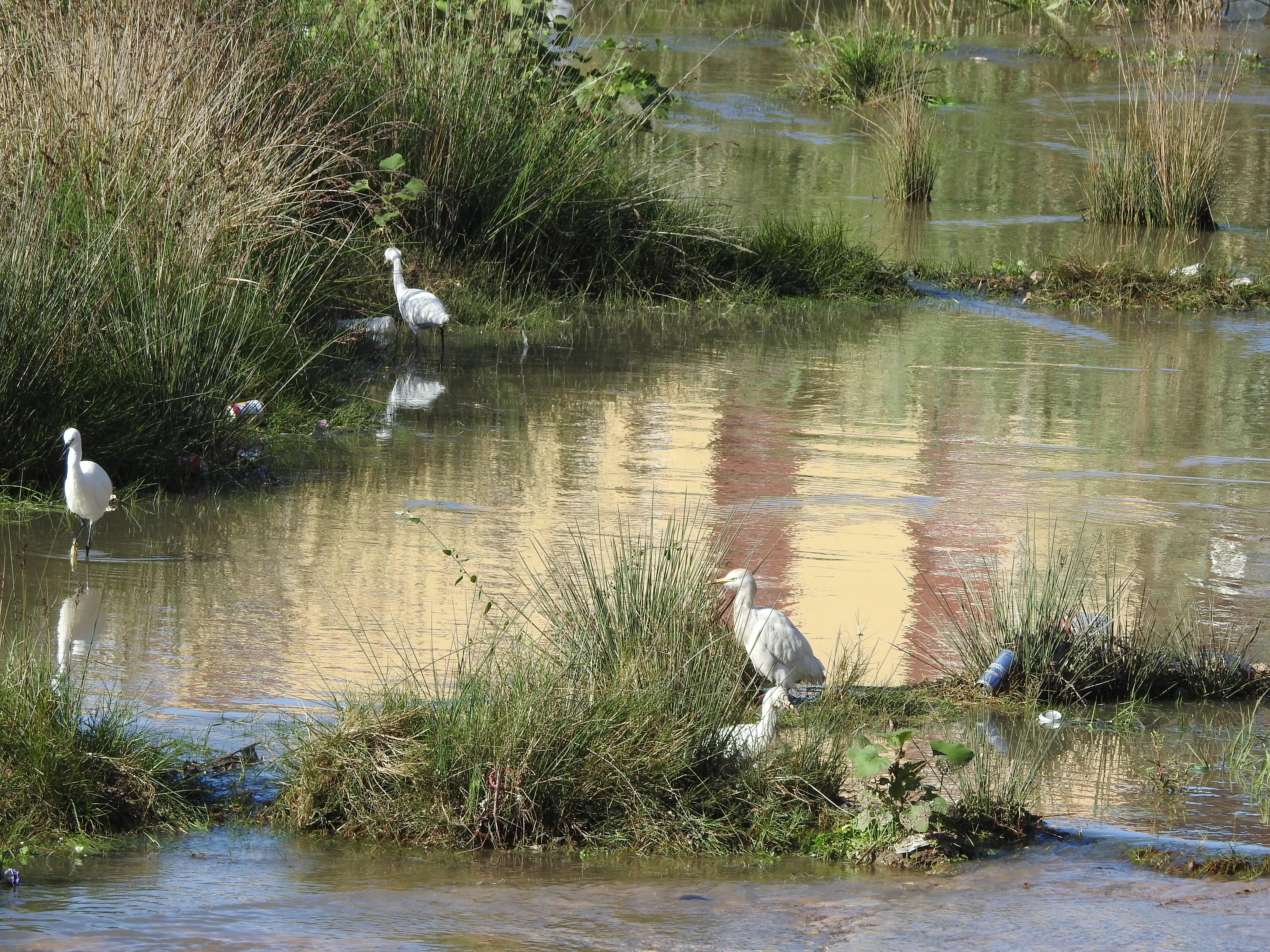 Garcetas comunes y garcillas en el rio de oro