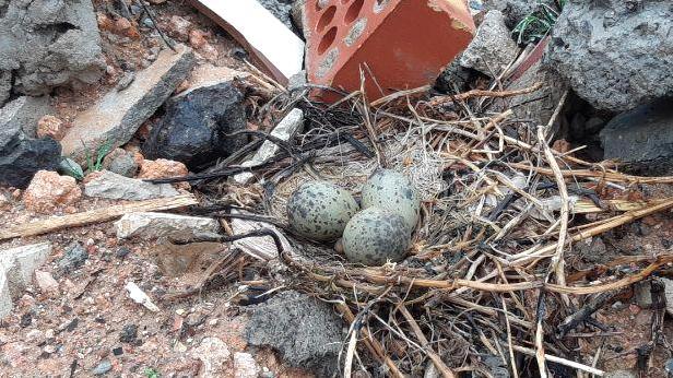huevos audouin 3