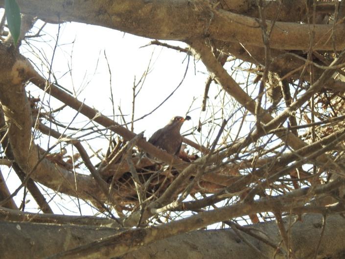 mirlo con comida en el pico buscando su nido en un ficus mutilado