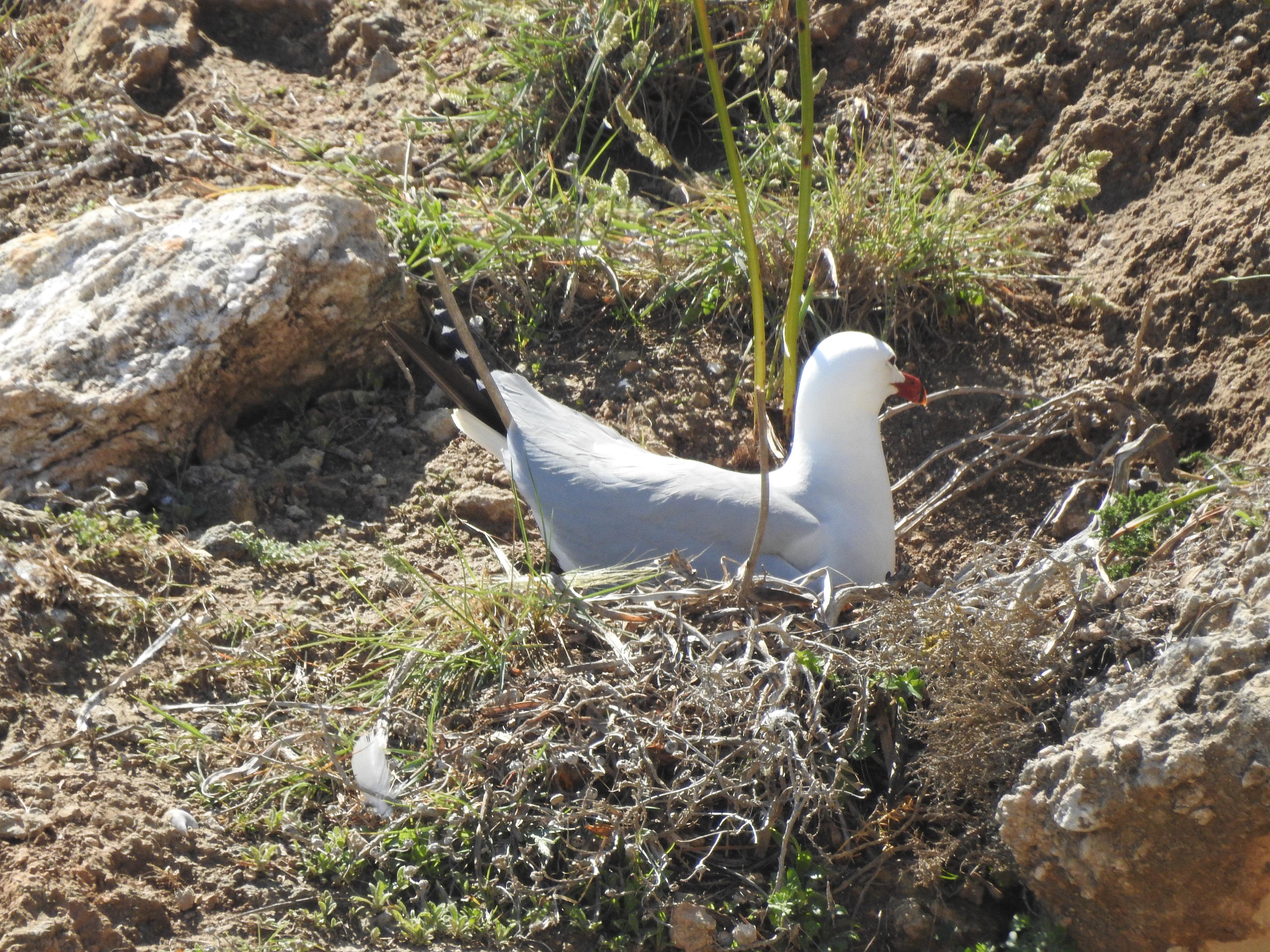gaviota de audouin incubando en acantilados de Melilla