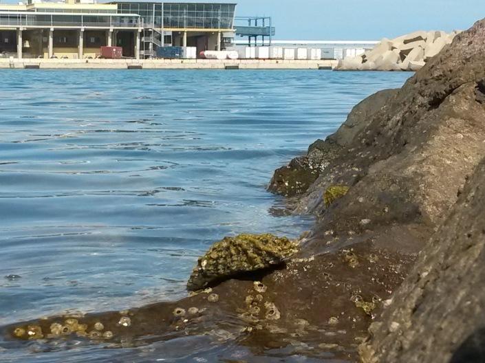 Patella ferruginea en espigones portuarios